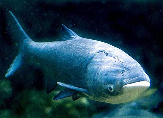 Asian Carp - Michigan Invasive Species