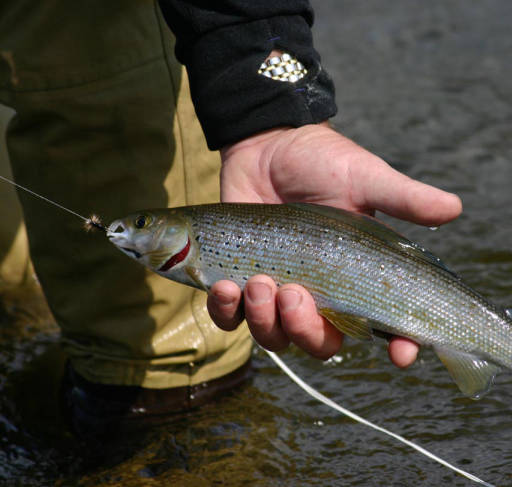 Michigan Arctic Grayling